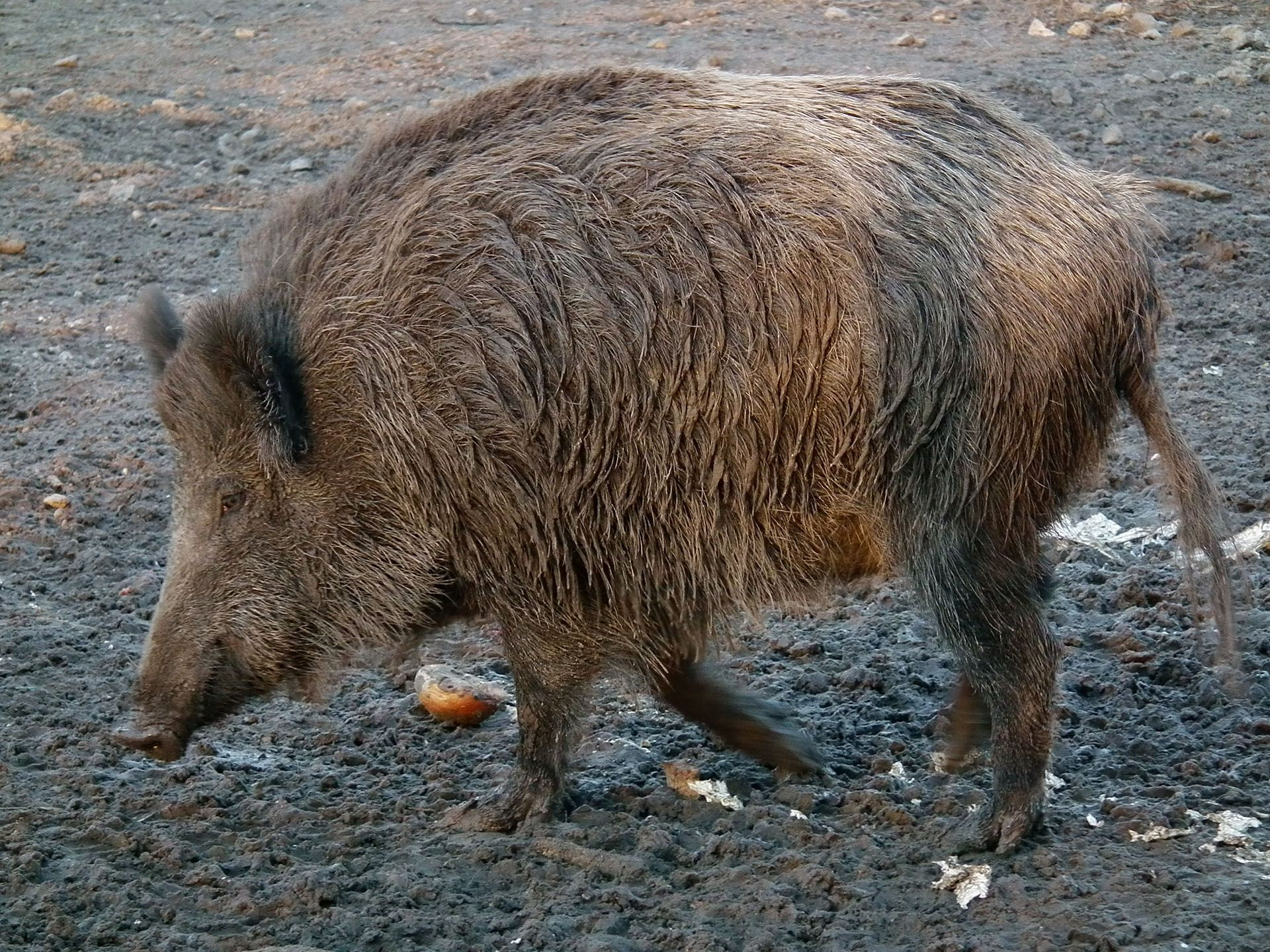 Asian wild boar | Information on species and hunting Giant Wild Boars In Asia